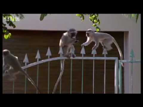 Breaking and entering - Cheeky Monkey - BBC wildlife