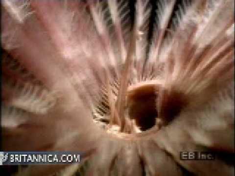 Sabellid worm emerging and feeding