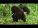 Bush meat market and baby gorilla victims - Apes in Danger - BBC wildlife