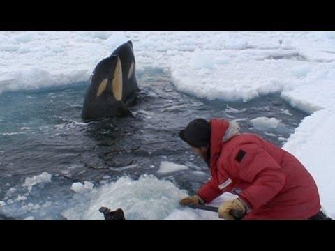 Filming Curious Killer Whales | Frozen Planet