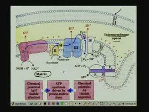 Lecture - 24 Bioenergetics II