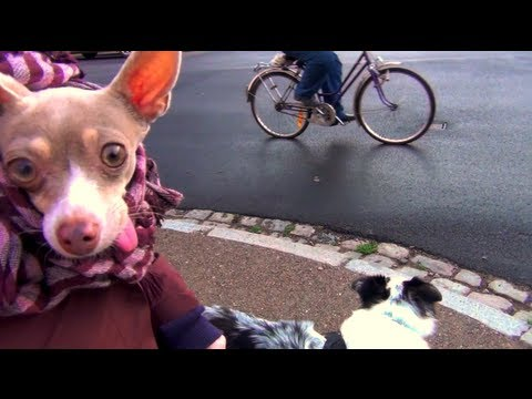Chihuahua walking a dog- funny dogs