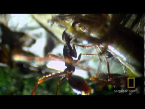 Army Ant Frenzy