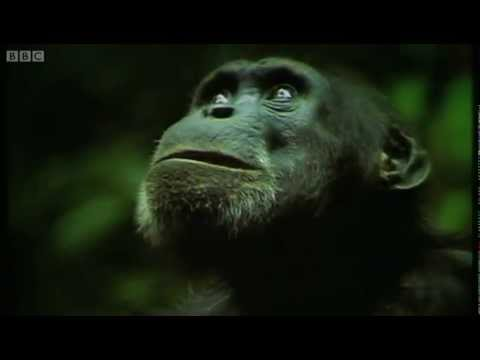 The Chimpanzee's Monkey Ambush - Predators - BBC