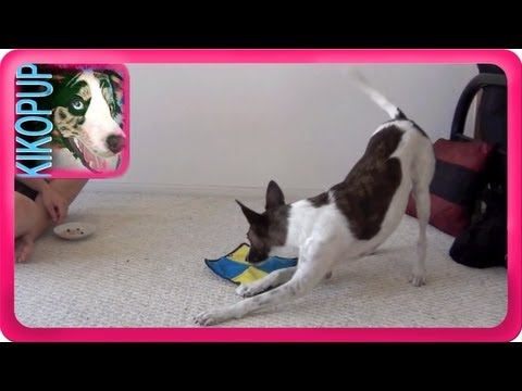 Trisch learns 'Shake It'- clicker dog training