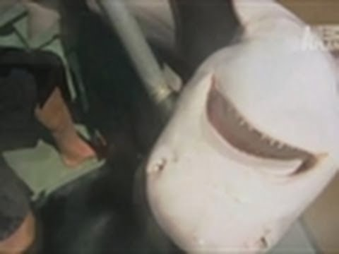 Rare Glyphis Shark Filmed | River Monsters