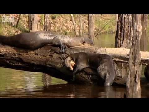 Search for Otters - Amazon Abyss - BBC Earth