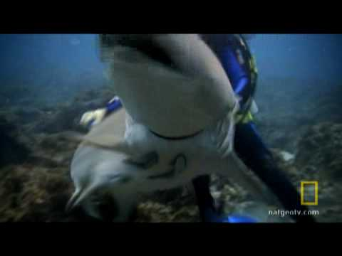Sand Tiger Shark Rescue