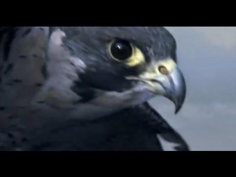 Peregrine Falcon Sky Dive - Inside the Perfect Predator - BBC