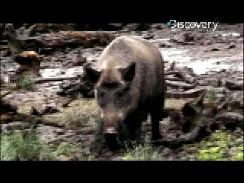 Pig Bomb - Hog Hunting