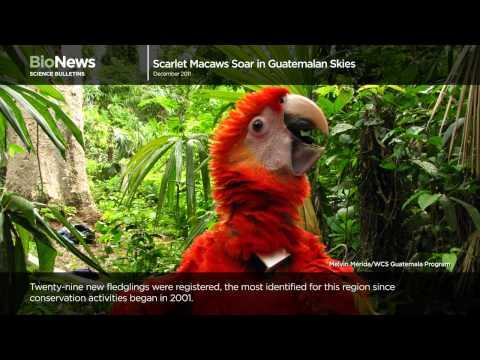 Science Bulletins: Scarlet Macaws Soar in Guatemalan Skies