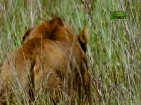 Weird, True & Freaky- Lioness Hunting Methods