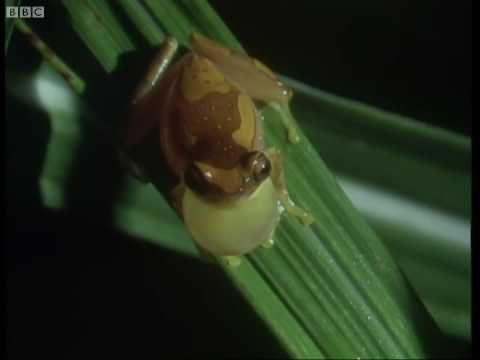 Panama frogs serenade females - Attenborough - Trials of Life - BBC