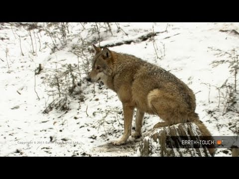 Searching for wolves in snowy Romania
