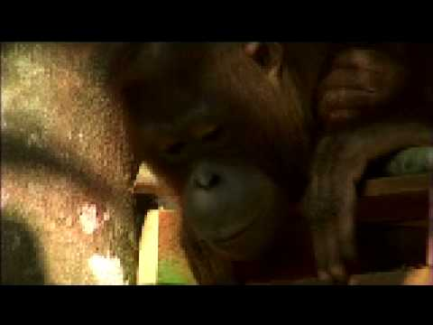 Orangutan Island - Daily Rituals