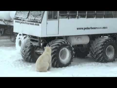 The Coolest Stuff on the Planet - The Polar Bears of Churchill