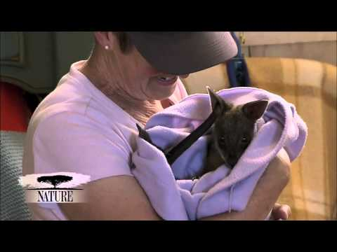 NATURE | Survivors of the Firestorm | Nursing the Wallabies | PBS