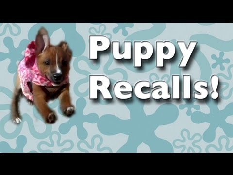 Puppy Recalls- Teaching come clicker dog training