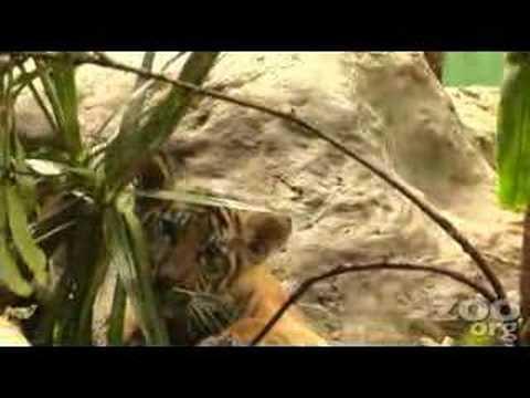 Tiger Cub ~ Hello HADIAH!