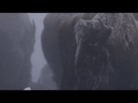 Untamed Americas - Bison in Harsh Winter