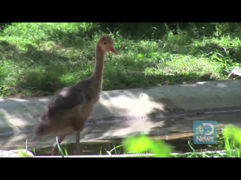 National Zoo Welcomes Baby Crane