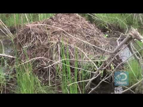 Nutria Hunted to Save Wetlands