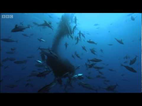 Whale Shark - Planet Earth - BBC