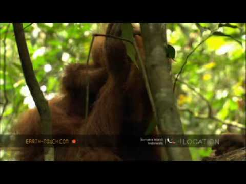 Orangutan mother plays with her baby