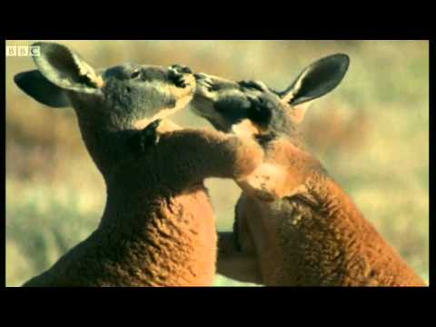 Roo wrestling - Big Red Roos - BBC