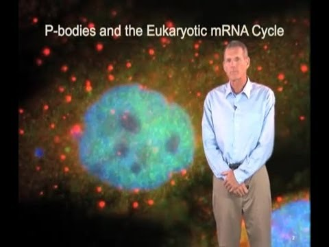 Roy Parker Part 2:P-bodies and the mRNA Cycle