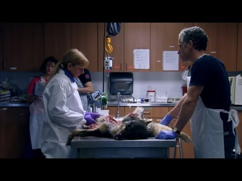 Wolf Autopsy