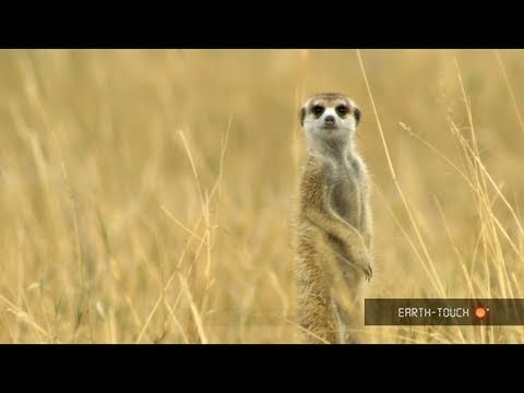 Pregnant meerkats & hungry millipedes