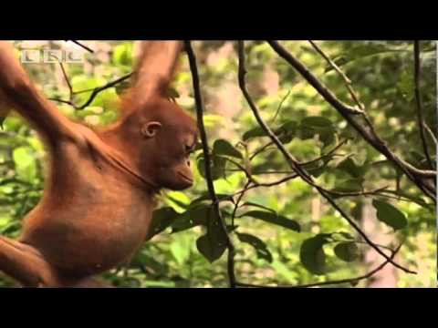 School's Out! - Orangutan Diary - BBC