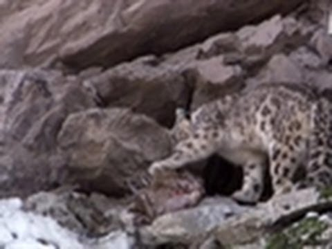 Snow Leopard Stalks Prey | Wild Kingdom