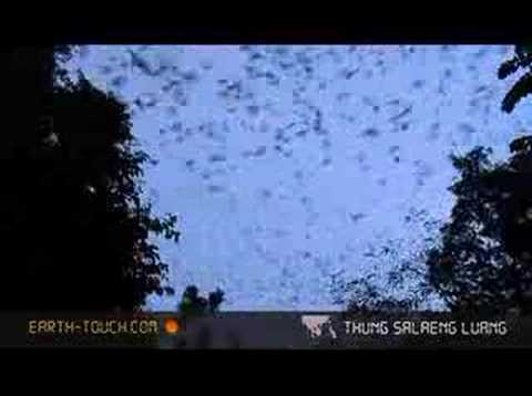 Thousands of bats hunt at dusk