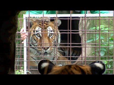 Big Cats + Mirrors = Funny!