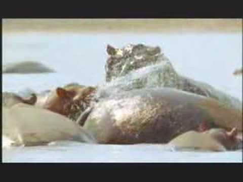 NATURE | Hippo Beach | Preview | PBS