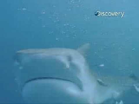 Shark Week- Tiger Sharks