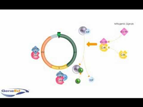 Cell Cycle Proteins