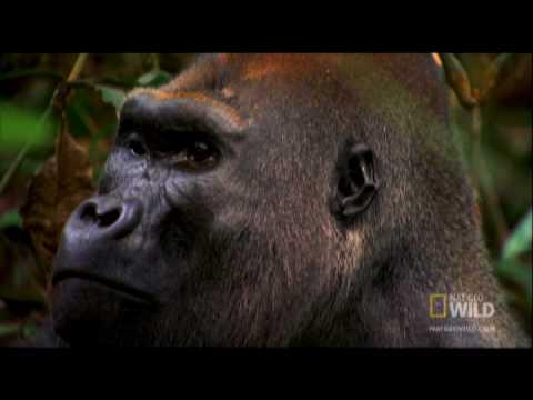 Gorilla Mating