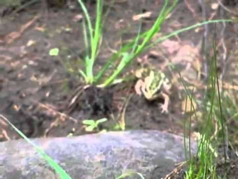 Northern Leopard Frog, Minnesota