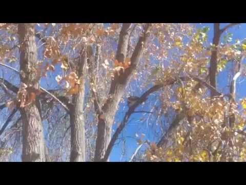 Red Tailed Hawk in cottonwood tree