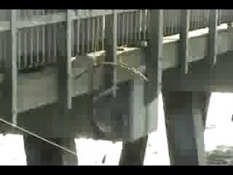 Bonnethead Hammerhead Shark - Tybee Island Pier Georgia