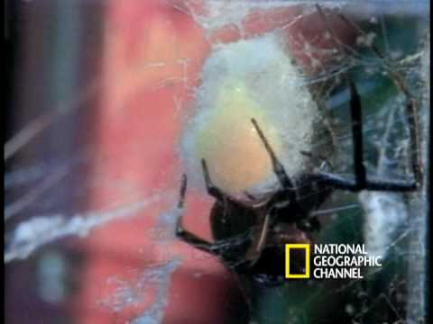Deadly Mates: Black Widow Spider