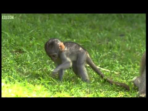 Cute baby monkeys at play - Cheeky Monkey - BBC