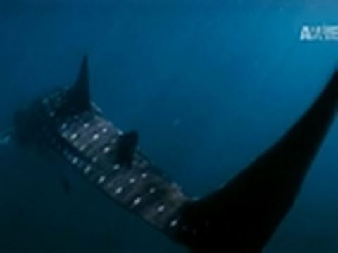 Wild Kingdom- Tagging a Whale Shark