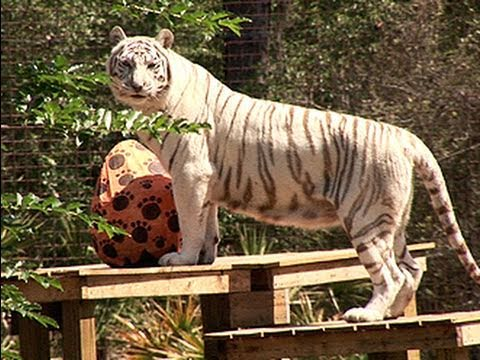 Tiger vs GIANT Easter Egg!!