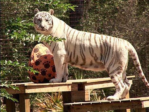 Tiger vs GIANT Easter Egg!!