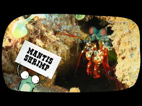 Funny Animals: Mantis shrimp's killer claws