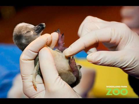 Fuzzy Baby Penguin Chick!